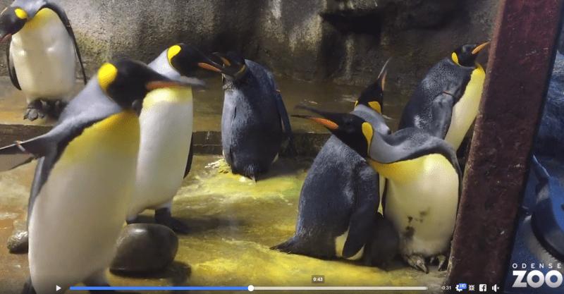 pinguinos gays